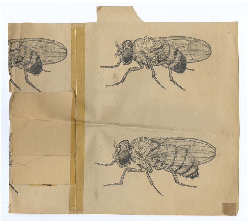 Picture of male and female Drosophila